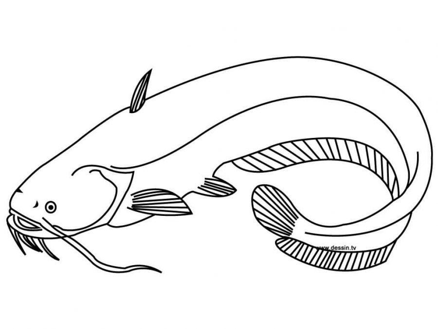 gambar mewarnai hewan ikan lele